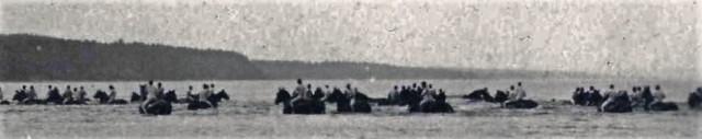 horses swimming Petawawa