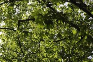 plane tree canopy Andrea Kirkby